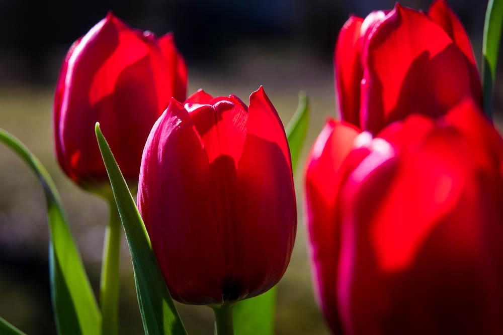 Tulpen rot | © Andreas Bender